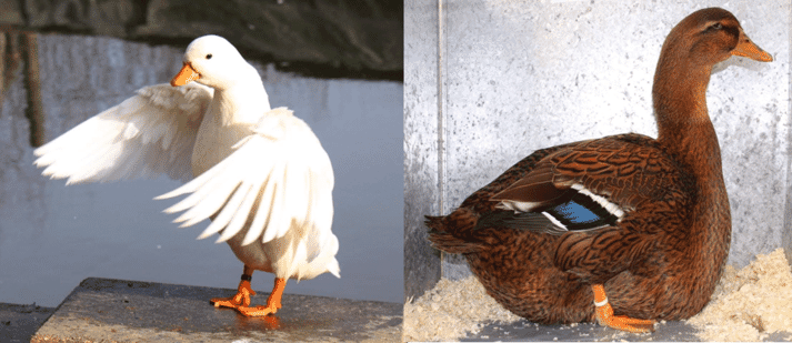 Two extremes of duck breed