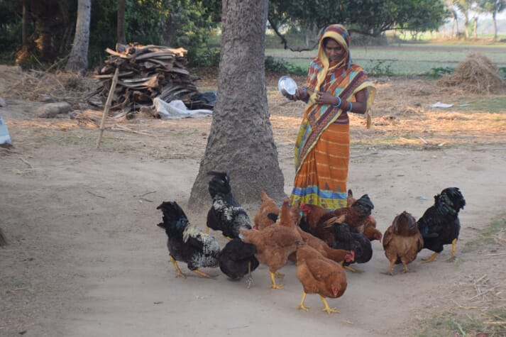 A woman farmer feeds the chicken birds with household food waste
