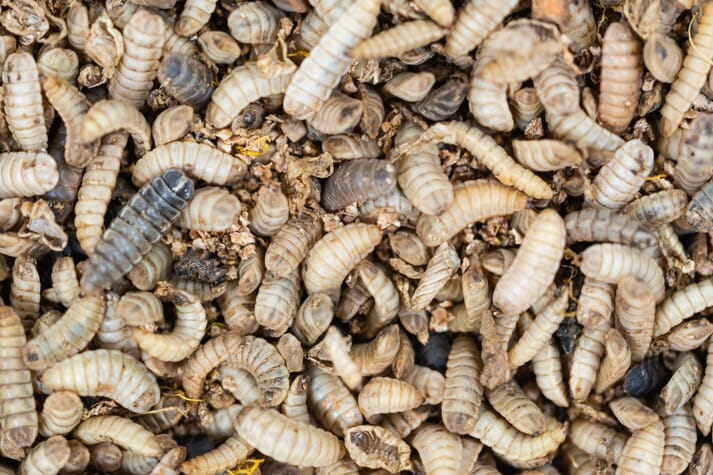 In 10 days the larvae munch their way through 70 percent of the waste, leaving behind a manure laden with nitrogen and calcium, which becomes organic fertiliser