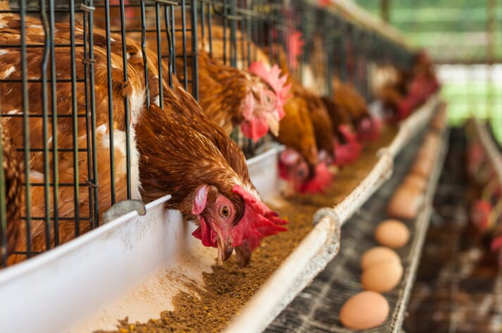 Caged laying hens feeding and producing eggs