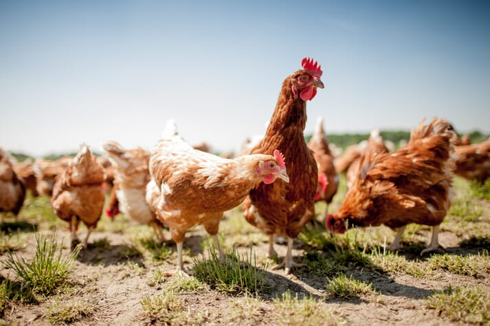 Heat stress is a major challenge for free-range laying hens in hot climates