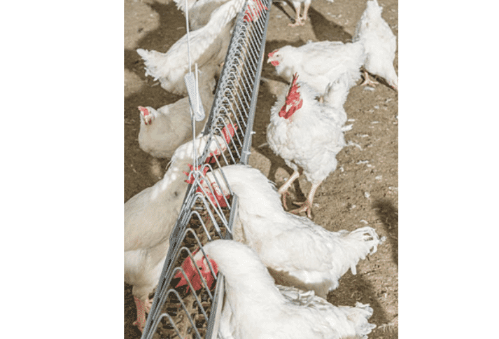 chickens feeding in a house using male chain