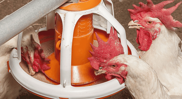 Feed pan with broiler chickens feeding