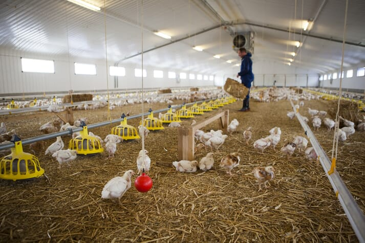 Chickens in a barn on a certified chicken farm in Somerset, UK