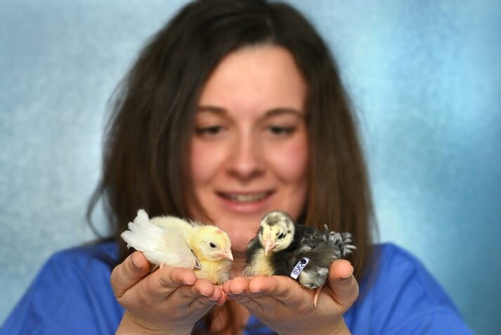 Dr Maeve Ballantyne with white and gene-edited black feathered White Leghorn chicks
