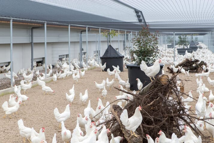 Hens in a barn with natural light and enrichments such as tree stumps and sticks