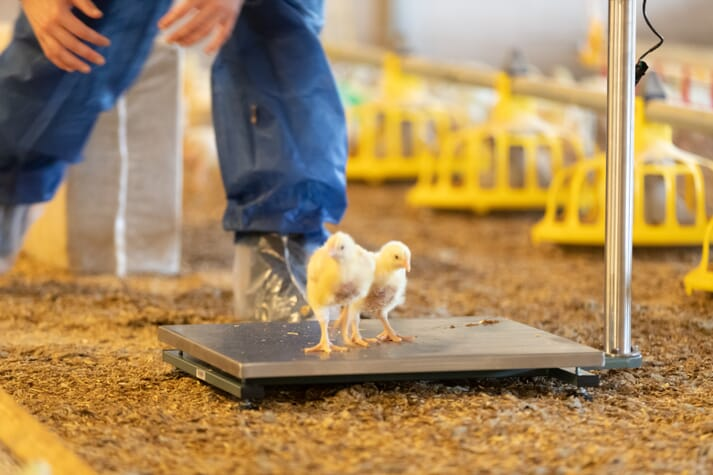 two baby chicks step onto a scale