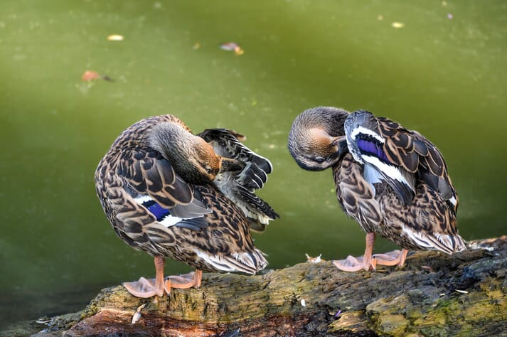 ducks cleaning themselves