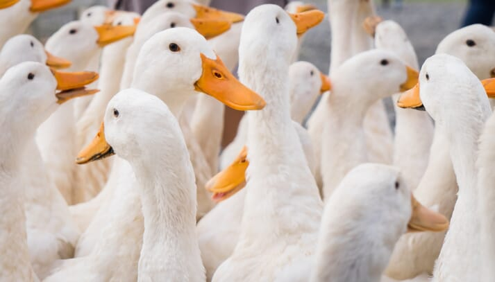 About 80 percent of the world's ducks are raised in China