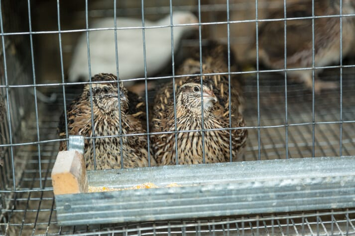 Japanese quails in cages