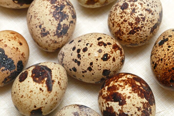 Quails produce an average of one egg per day