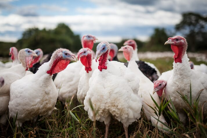 Turkeys standing in a grassy field