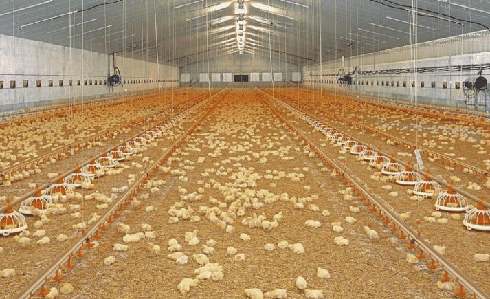 Short and sweet: multi-phase ventilation ensures the best possible climate in the poultry house over the entire batch