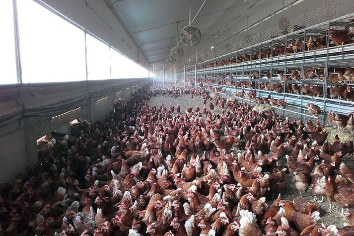 Figure 3: Use of recirculation fans, combined with spray cooling, in a free range egg production barn in Australia