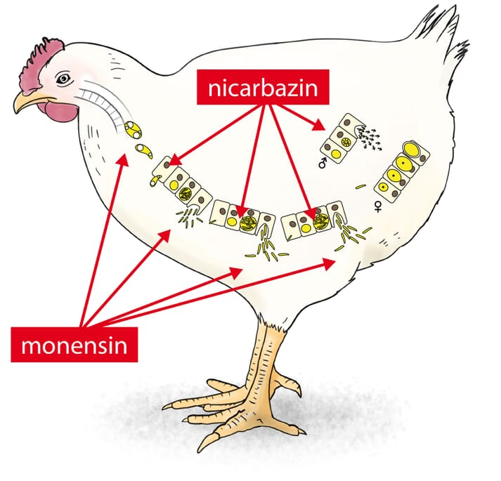 a diagram of a chicken
