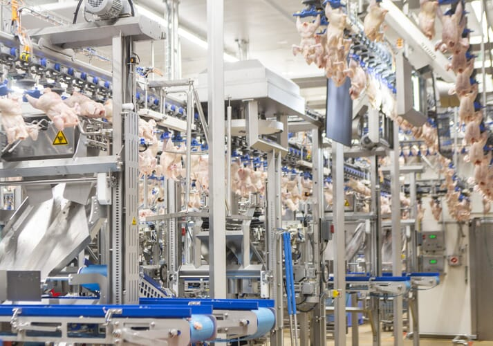 Chicken carcasses in a food processing line hang upside-down and pass through a visual scanner with a bright light shining against them