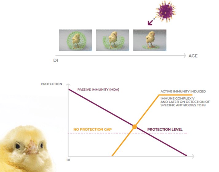 Figure 3. Transmune vaccine strain is released and fully colonizes the bursa and protects teh bird.