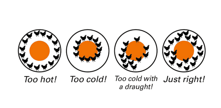 Fig. 1: Too hot, too cold, too cold with draughts – or everything is just right. Chick distribution is another indicator for setting the correct temperature.