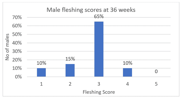 Figure 1: Male fleshing scores of a flock considered over weight.