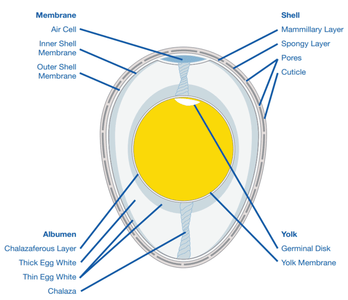 Figure 1: Internal structure of a fertile egg at the time of lay.