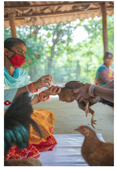Geeta Rani Jena (left) administers eye drops to a young chicken.