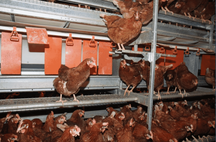 Figure 13. Nests should have a staging area at the entrance to allow hens to examine the nests with easy access and sufficient space for movement