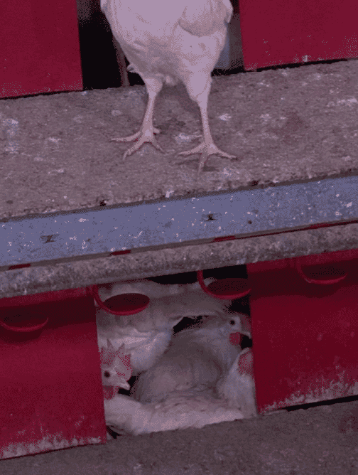 Figure 2. Gregarious laying behavior is more common in young inexperienced hens.