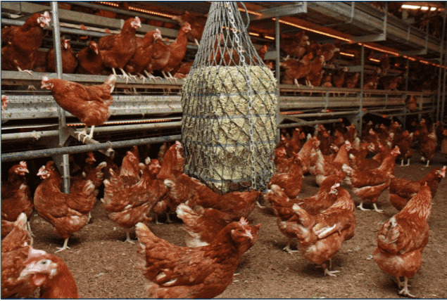 Figure 5. Enrichments, such as lucerne (alfalfa) bales, should be suspended so as not to encourage birds to lay next to them or block hen movement to nests.