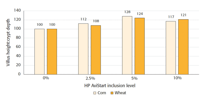 Figure 3: Higher villus height:crypt depth ratio with higher HP AviStart inclusion level, compared to control.