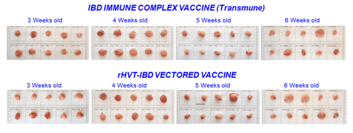 Figure 3. Pictures of bursa of Fabricius from commercial broilers 3 – 6 weeks old vaccinated either with an Immune-Complex vaccine (Live attenuated IBD virus) or an rHVT-IBD vectored vaccine.