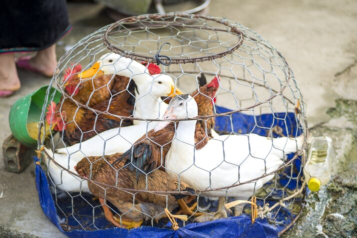 Ducks and chickens in a wire cage