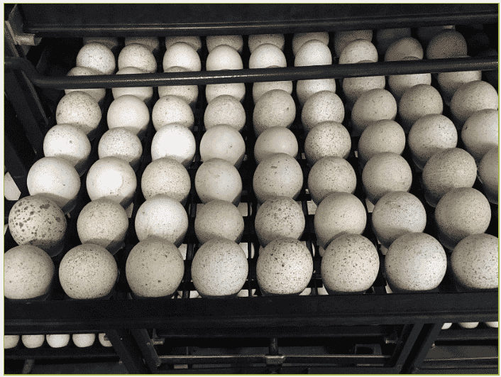 A unique approach to incubating turkey eggs is so important