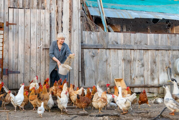 Even though backyard keepers can keep their birds on a dirt patch, using poultry litter can help make manure management easier