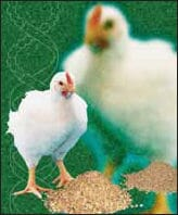 How to control growth to improve economic results | The Poultry Site