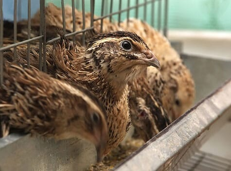 Adult japanese quail eat between 14 g and 18 g of food per day