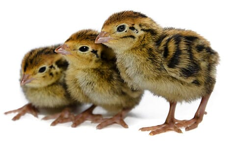 Quail chicks need supplementary heat