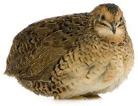 Raising Japanese Quail | The Poultry Site