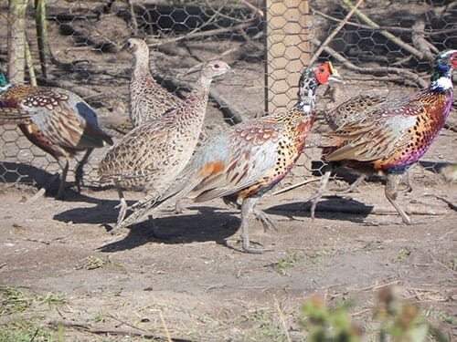 raising pheasants commercially hunting - the poultry site