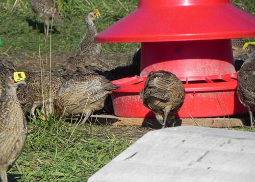 pheasant feed - poultry feed for pheasants
