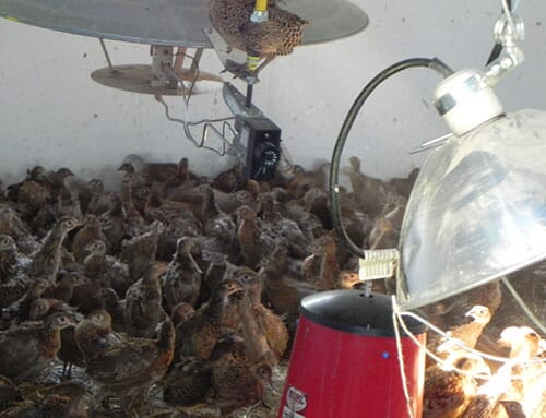 pheasants in brooder- the poultry site