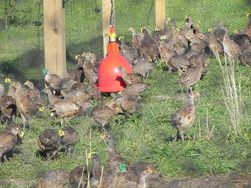 raising pheasants outdoors, deb perry,the poultry site