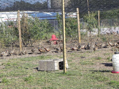 buying pheasants-the poultry site