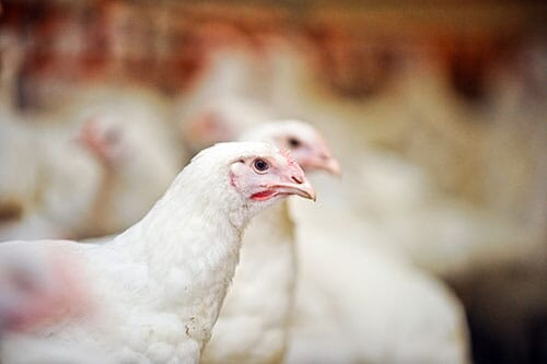 preventing diseases in poultry