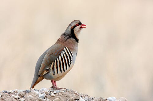 How to Get Into Partridge Production | The Poultry Site