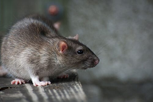 control rodents to prevent spiking mortality syndrome