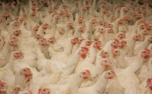 Bacteria on Broiler Farms