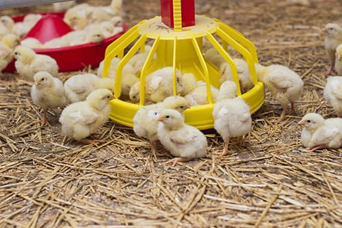 use probiotics in chickens