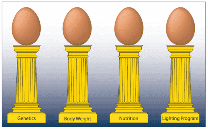 Optimising egg size in commercial layers   The Poultry Site