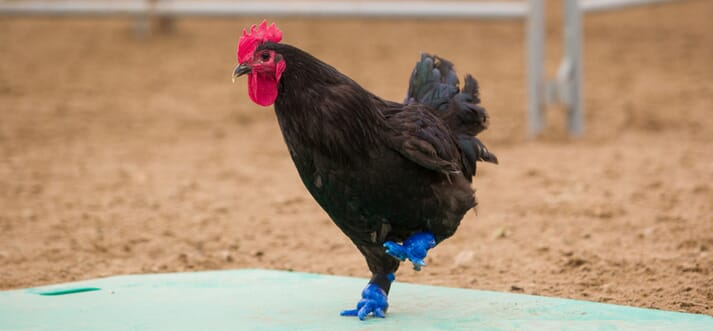 a rooster with blue plastic feet