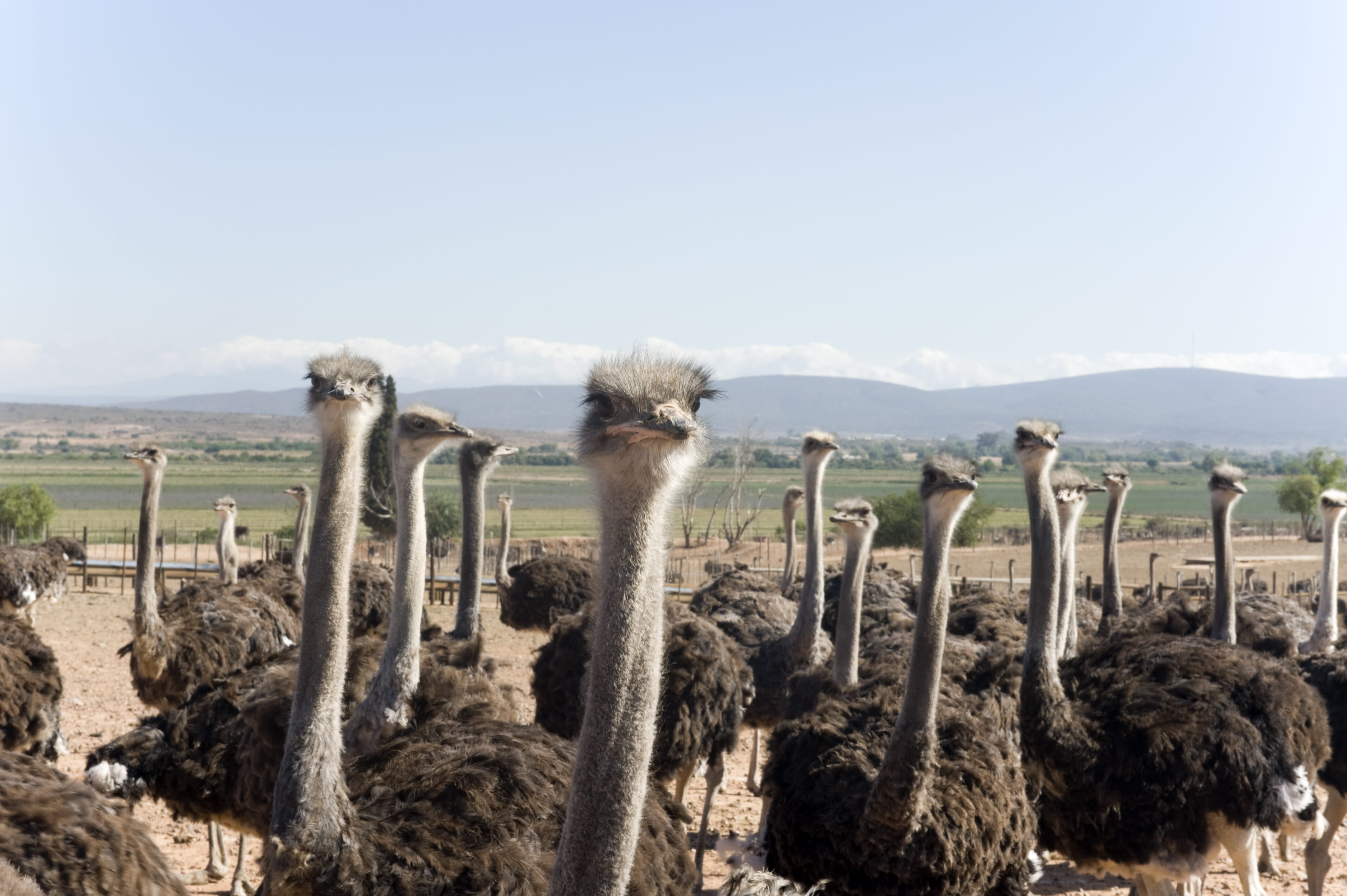 Whatever happened to the ostrich farms of Zimbabwe? | The